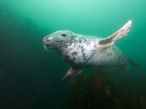 Being buzzed by a grey seal 01 Stock Photos