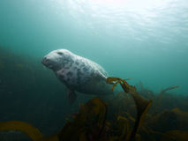 Being buzzed by a grey seal 03 Royalty Free Stock Photo