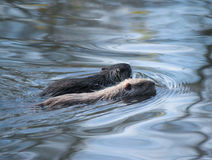 Being a Coypu family Stock Photography