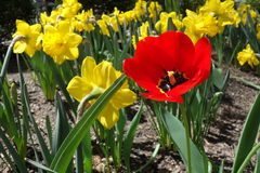 Being Different. And standing out from the crowd: a red poppy surrounded by yellow daffodils stock image