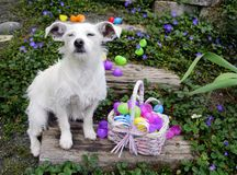 Being an Egg Guard is Hard Work. White dog with big ears sitting next to easter eggs with her eyes closed. Eggs are spilled all over wooden stairs outside and Stock Photography