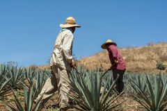 Being employed at the field of agave. royalty free stock photo