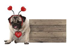Being fed up Valentine`s day pug dog with hearts diadem sitting down next to wooden sign. Isolated on white background royalty free stock photo