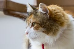Profile of a tricolor cat staring to the left of the image. royalty free stock photo