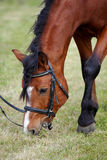 Being grazed sports horse. On a lawn Stock Photography