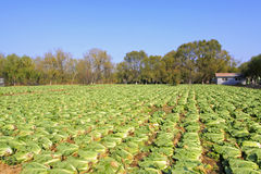 Being harvested Chinese cabbage in field Stock Photo