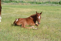 Being young is tiring. A young Quarter horse filly relaxes after the hardships of life as a young horse Stock Images