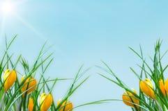 Beira amarela do açafrão da flor Fotos de Stock