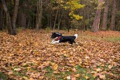 A beira Collie Dog está correndo em Forest Ground Fotos de Stock Royalty Free