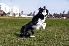 Beira Collie Dog Playing no parque Imagem de Stock Royalty Free