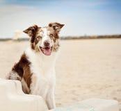 Beira Collie Dog Relaxing em um banco na praia Fotografia de Stock Royalty Free