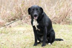 A beira Collie Labrador Retriever misturou o cão da raça fotografia de stock