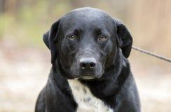 A beira Collie Labrador Retriever misturou o cão da raça imagens de stock