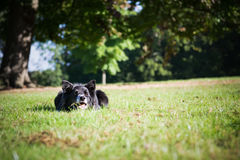 Beira Collie Outside Imagens de Stock Royalty Free