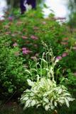 Beira constante misturada com hostas, japonica do spirea, delfínio e outros perennials foto de stock royalty free