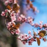 Beira da flor da mola com a árvore de florescência cor-de-rosa Cena bonita da natureza com as flores no alargamento da árvore e d imagens de stock royalty free