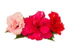Beira de flores coloridas do hibiscus Imagem de Stock
