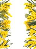 Beira de flores da mimosa Foto de Stock Royalty Free