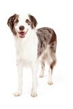 Beira de sorriso Collie Dog Standing Imagem de Stock