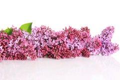 Beira do Lilac Foto de Stock Royalty Free