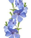 Beira flral sem emenda do teste padrão Flores selvagens da pervinca isoladas Imagem de Stock