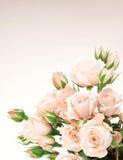 Beira fresca das rosas fotos de stock