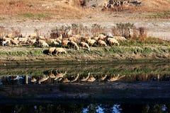 Beira-rio do rebanho Imagens de Stock