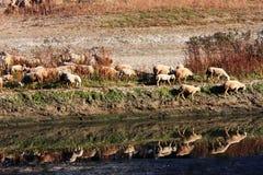 Beira-rio do rebanho Imagem de Stock Royalty Free