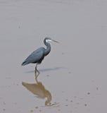Beira-rio ocidental da garça-real do recife Imagem de Stock Royalty Free