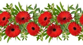 Beira sem emenda com as flores vermelhas do gerbera Isolado Imagem de Stock Royalty Free
