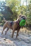 Beira Terrier Imagem de Stock Royalty Free