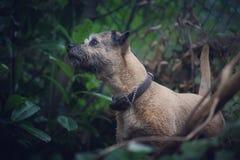 Beira Terrier Imagem de Stock