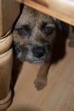 Beira Terrier debaixo da tabela Foto de Stock
