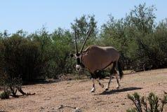 Beisa羚羊属 免版税库存图片