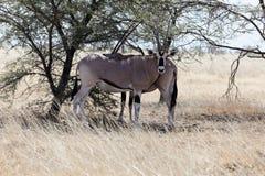 Beisa africano do leste do Oryx do oryx imagem de stock royalty free