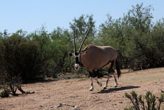 Beisa oryx Royalty Free Stock Images