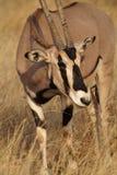 Beisa oryx antelope, Kenya Stock Images