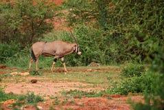 Beisa Oryx - Oryx gazella beisa. Large antelope from African savannas, Tsavo National Park, Kenya Stock Photos