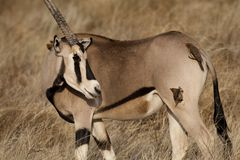 Beisa oryx with oxpeckers Stock Photo