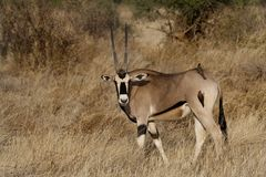 Beisa oryx with oxpeckers Stock Photography