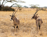 Beisa Oryx Stock Images