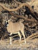 Beisa Oryx w Samburu Krajowej rezerwie Zdjęcie Stock