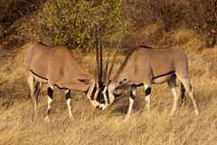Beisa oryxes fighting Stock Photo