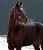 Beiseite schaffen-Arabisches Pferd Stockfoto