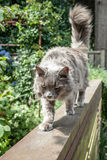 Bejaard Grey Long Haired Cat Walking zorgvuldig boven op Omheining royalty-vrije stock fotografie