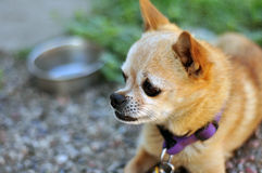 Bejaarde Chihuahua royalty-vrije stock foto's