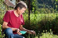 Bejaarde die aardbeien in zijn tuin verzamelt Royalty-vrije Stock Afbeeldingen