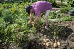 Bejaarde en aardappels Stock Fotografie