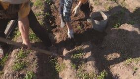 Bejaarde en Vrouwen de Oogstaardappels van de Tuinbedden en werpen in Emmer stock videobeelden