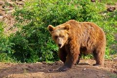 Bejaarde Europese bruin draagt (arctos Ursus) lopend Royalty-vrije Stock Foto's